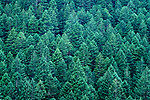 Evergreen forest close up on the Olympic Penninsula Washington State USA