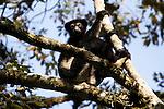 .Indri Indri is the biggest lemur of Madagascar..L indri (Indri indri) est le lemurien le plus grand et le plus lourd (jusqu a 75 kg