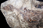 Confuciusornis sanctus, rare fossil bird, Early Cretaceous, China