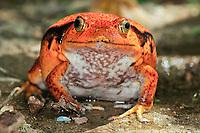 Madagascar tomato frog, Dyscophus antongilii, endemic to Madagascar, Sambava, Madagascar