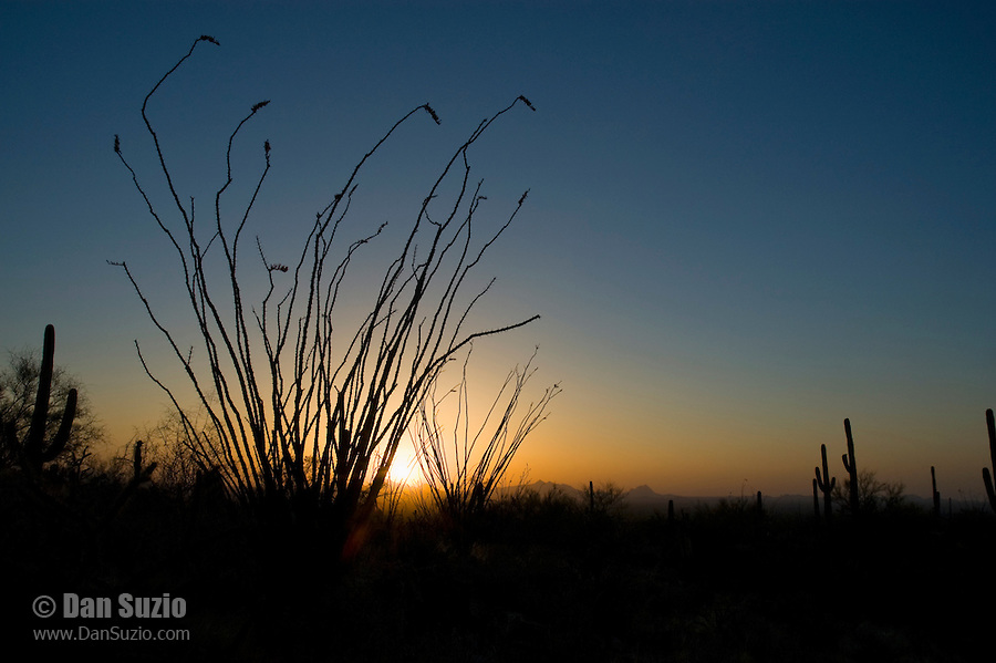 Ocotillo, Fouquieria splendens, at sunset. Saguaro National Park, Arizona