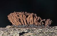 Chocolate Tube Slime (Stemonitis splendens) a/k/a Pipecleaner Slime. Wunderlich County Park. Woodside, San Mateo Co., Calif.