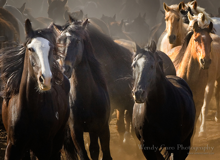 Herd of horses rounded up and herded into corral