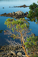 Pacific Madrona tree over Bowman Bay, Deception Pass State Park
