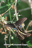 03009-011.10 Black Swallowtails (Papilio polyxenes) mating Starr Co. TX