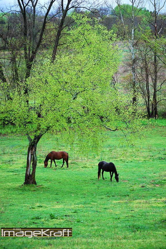 Two horses grazing near tree in Charlottesville, Virginia