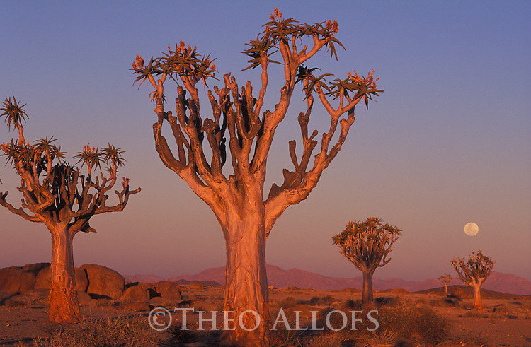 Quiver trees (Aloe dichotoma) at sunset with full moon, Namib Desert, Namibia