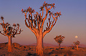 Quiver trees (Aloe dichotoma) at sunset with full moon, Namib Desert, Namibia