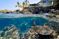 Green sea turtle, Chelonia mydas, swims along the coast of Honaunau Bay, Kona Coast, Big Island, Hawaii, USA, Pacific Ocean