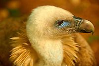 Euracian Griffon Vulture (Gyps fulvus), Native birds of Cres Island, Beli, Cres Island, Croatia