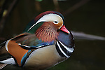 Mandarin duck in Santa Barbara