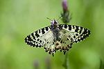Eastern Festoon Butterfly, Zerynthia cerisy, Lesvos, Greece  , lesbos