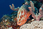 Coral grouper (Cephalopholis miniata) in the reef