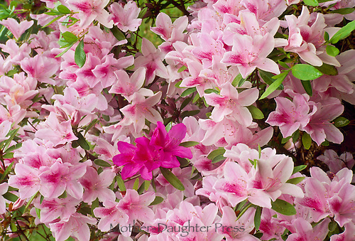 Pink Azaleas, Rhododendron Tsutsuji, blooms mixing two types for a lovely contrast, Florida