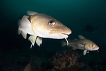 Atlantic cod near the Arnarnesstrýtur chimney, northern Iceland