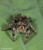 0116-1004  Bold Jumper, Phidippus audax  © David Kuhn/Dwight Kuhn Photography