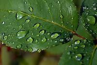 Drops on a rose leaf after a rain shower.