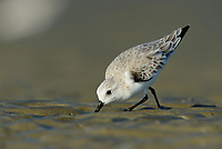 Sanderling (Calidris alba) in basic (winter) plumage foraging on the Altamaha Estuary. Glynn County, Georgia. October.
