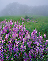 Redwood National Park, CA <br /> Fog envelops a hillside meadow in the Bald Hills with riverbank lupine (Lupinus rivularis) and Oregon White Oak (Quercus garryana) in the distance
