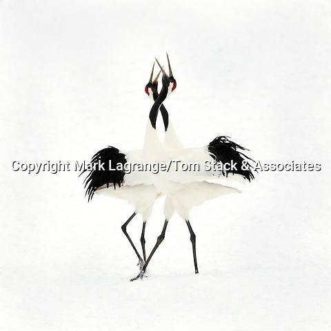 Red Crowned Cranes,Grus japonensis,courtship dance, Kushiro, Japan