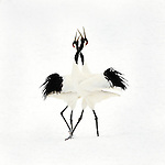 Red Crowned Cranes,Grus japonensis,courtship dance, Kushiro, Japan