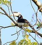 Yala National Park Sri Lanka<br /> Malabar Hornbill