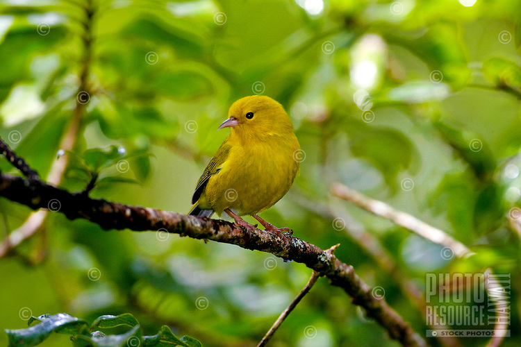 Anianiau (Hemignathus parvus) Found only on Kauai and one of the smallest Hawaiian honeycreepers, it is found only in the Alakai swamp.  It feeds on insects and nectar.