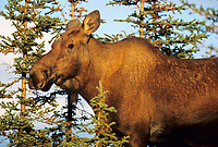 Cow moose, spruce trees, autumn, Denali National Park, Alaska