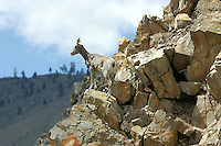 A juvenile Bighorn Sheep (Ovis canadensis) stands on a cliff looking out over its domain in eastern Washington.
