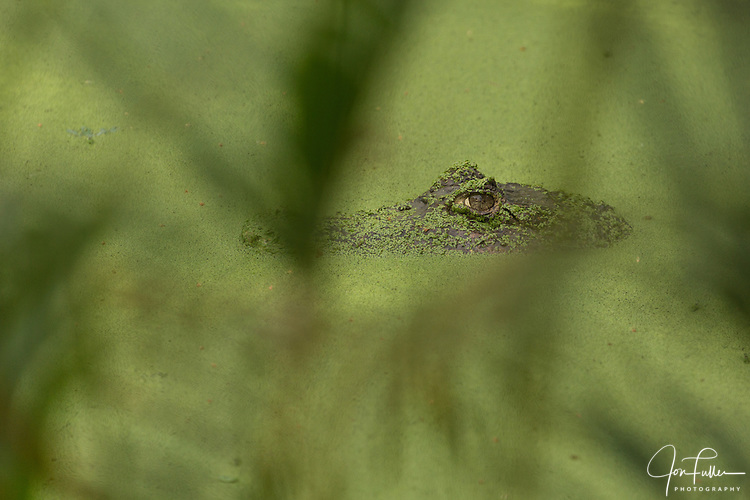 Spectacled Caiman, Caiman crocodilus, patiently waits for  unsuspecting prey to get too close.  It waits in a pond with just its head showing, covered with duckweed.  It is found in much of Central and South America, including Mexico, Belize, Guatemala, Honduras, El Salvador, Nicaragua, Costa Rica, Panama, Colombia, Venezuela, Guyana, Suriname, French Guyana, Brazil, Ecuador, Peru, and Bolivia.  Also found on Trinidad and Tobago.  It has been introduced to Florida in the U.S., Cuba, and Puerto Rico.  It is the most common of all crocodilian species.  This speciman watches through the out-of-focus greenery in the foreground.