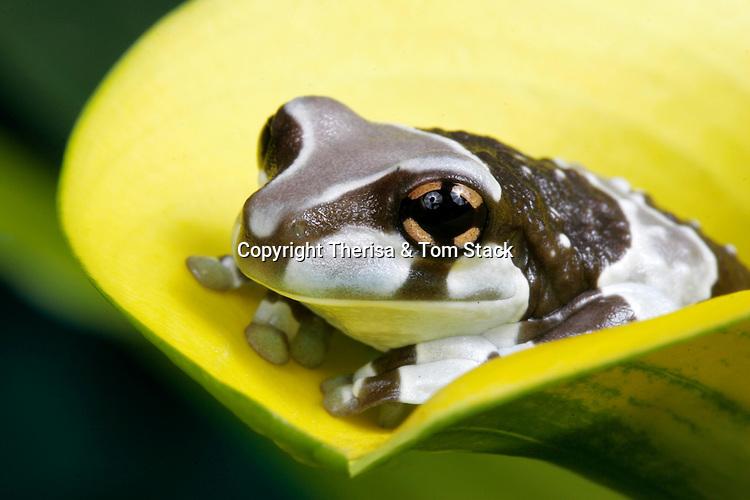 Amazonian Milk Frog, Phrynohyas resinifictrix