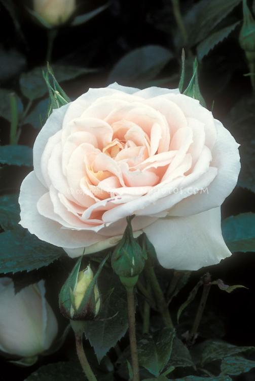 Rose Kosmos Fairy Tale aka Korvanaber aka Lion's Fairy Tale aka Champagne Moment