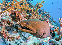giant moray, Gymnothorax javanicus, living among staghorn coral at East of Eden, Similan Islands, Thailand, Indian Ocean