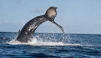 Hump_Whale_Tail