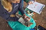 Santa Catalina Island Fox (Urocyon littoralis catalinae) biologists, Julie King and Rebekah Rudy, examining teeth of fox during vaccination and health check up, Santa Catalina Island, Channel Islands, California