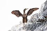 European Shag drying it's wings | Toppskarv som tørker vingene sine.