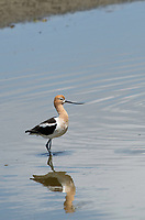 American Avocet, Recurvirostra americana, stands in shallow water at Sacramento National Wildlife Refuge, California