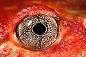 Close up of eye of Tomato frog {Dyscophus antongili} Maroantsetra, Northeast Madagascar