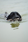 Duck hunting dog swimming on a retrieve in Mississippi