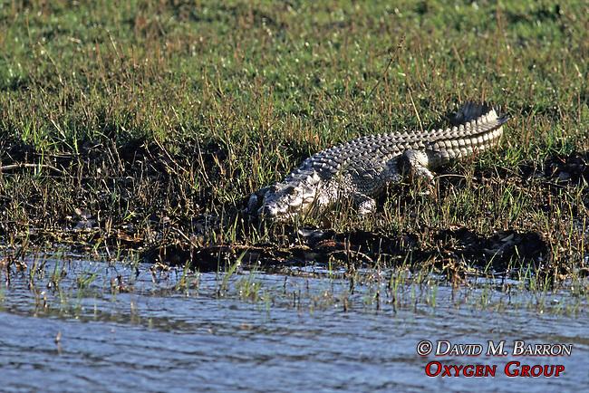 Crocodile Along The Zambezi River
