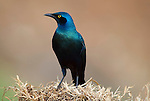 Lesser Blue Eared Starling, Lamprotornis chalybaeus, Arba Minch, Ethiopia, arbaminch, Swayne s Hotel grounds.Africa....