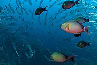 School of Blackfin Barracuda, Sphyraena qenie, and Yellowfin Surgeonfish, Acanthurus xanthopterus, Barracuda Point dive site, Sipadan island, Sabah, Malaysia, Celebes Sea