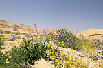 Israel, Negev, Wildflowers in Zin Valley