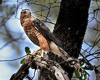 Cooper's Hawk with Squirrel, Arizona