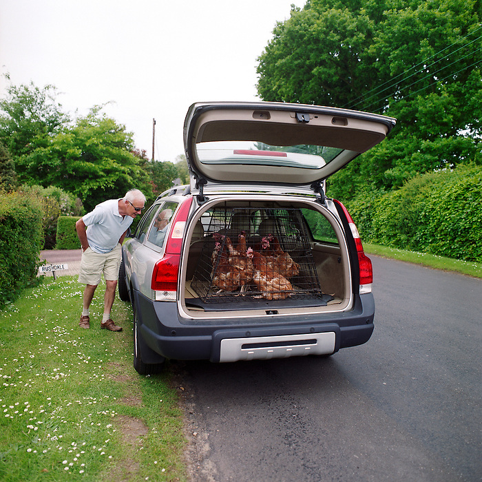 Re- Home Series. Kent, UK. 2009. Hens are loaded into a car and off to their new home.