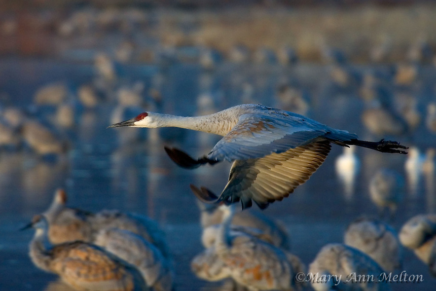 Bosque del Apache, New Mexico..The sandhill cranes seek the safety of the marsh in the evening. When the sun rises, the cranes fly to their daytime foraging areas.