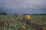 Portland, Sauvie Island, Columbia River, Oregon, Families hunt for pumpkins in rural farm field, Autumn, Pacific Northwest, USA,