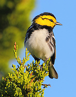 Adult male golden-cheeked warbler