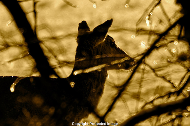 Winter Deer In Sepia