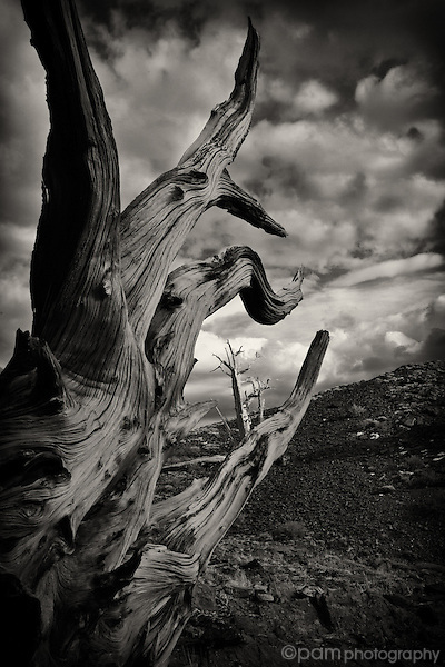 Bristlecone pine tree framed within root in California's Sierras